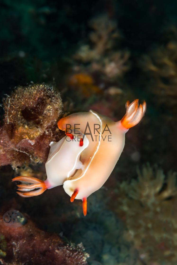 """Nudibranchs mating"" stock image"