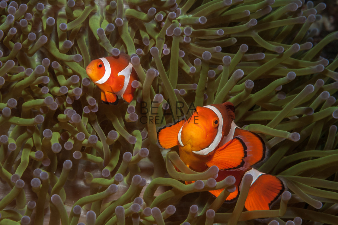"""A pair of false clownfish in sea anemone in the Philippines"" stock image"