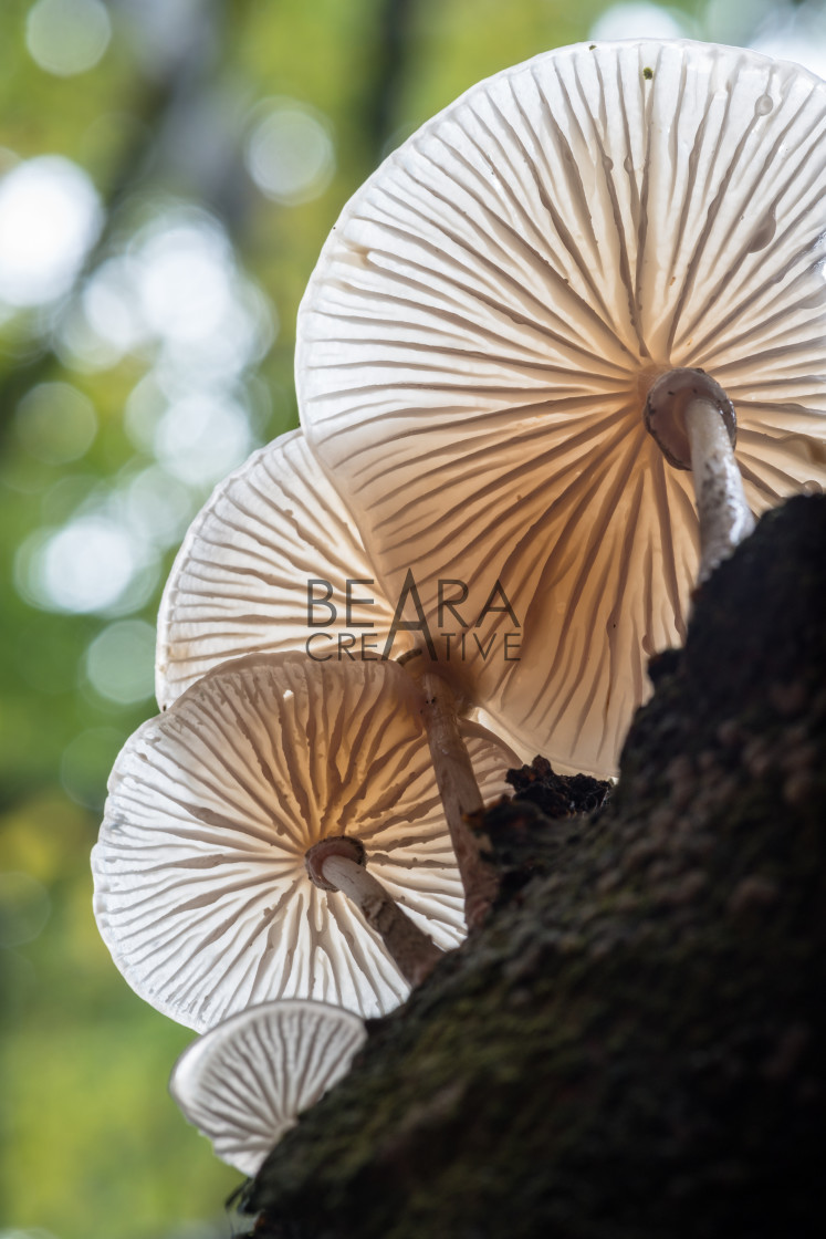 """Porcelain fungus on a beech tree in Padley Gorge"" stock image"
