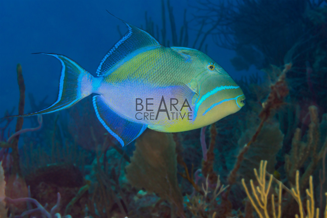 """Queen triggerfish"" stock image"