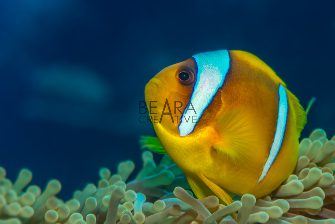 """Red Sea anemonefish"" stock image"