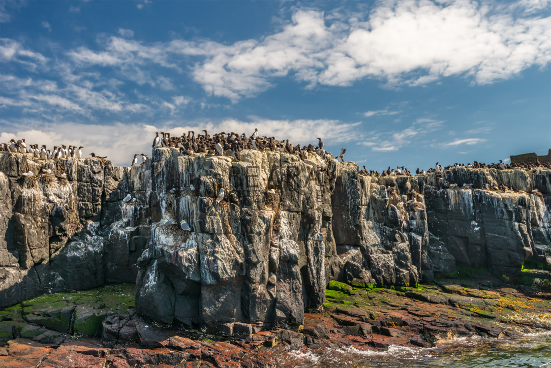 """""""Clifftop colony of seabirds"""" stock image"""