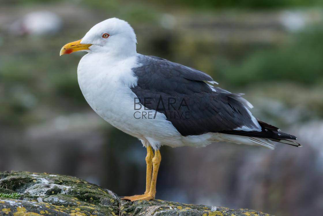 """""""Seagull profile portrait"""" stock image"""