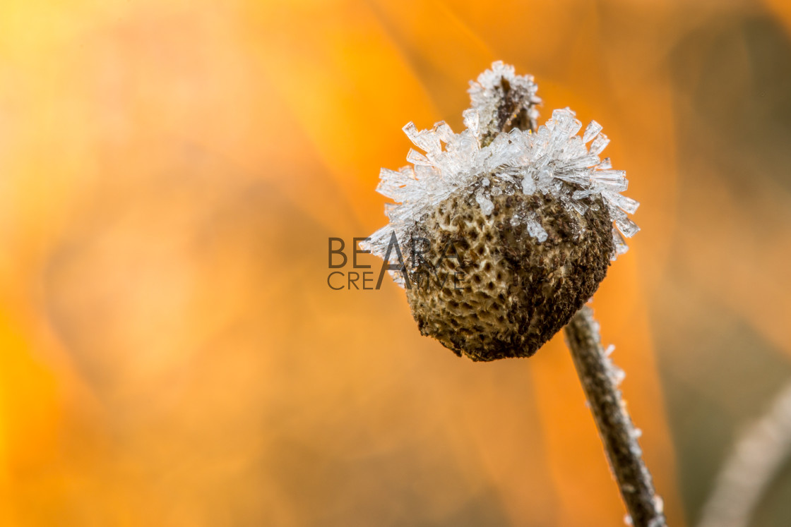 """""""Ice covered seed head"""" stock image"""