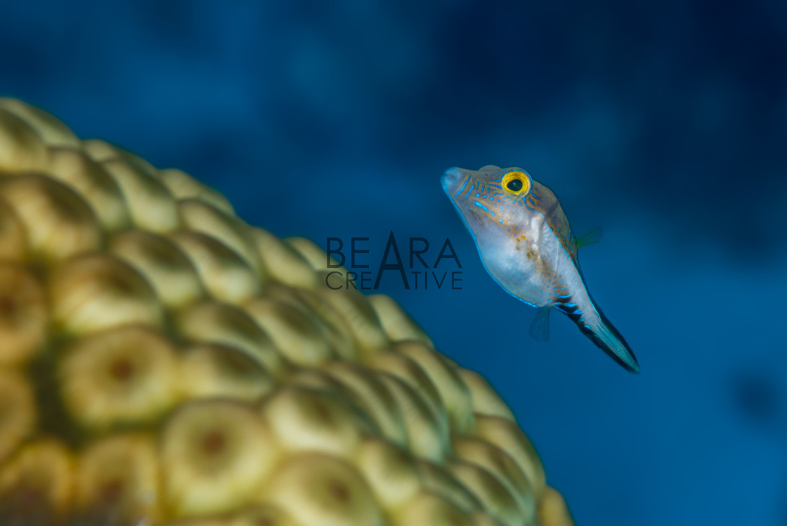 """""""Sharpnose puffer swimming over star coral"""" stock image"""