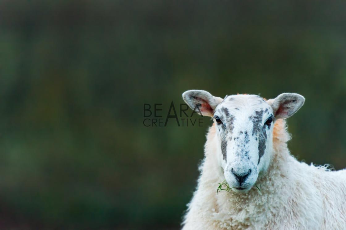 """Portrait of sheep in Devon"" stock image"