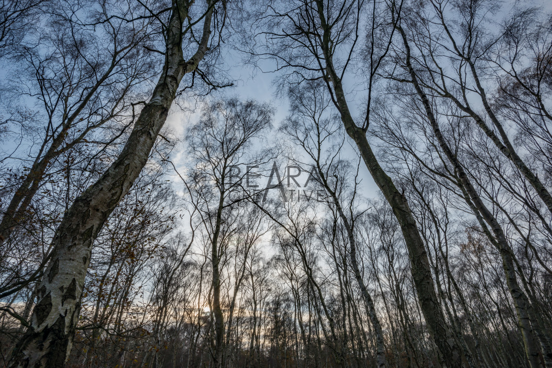 """Sherwood forest birch trees"" stock image"
