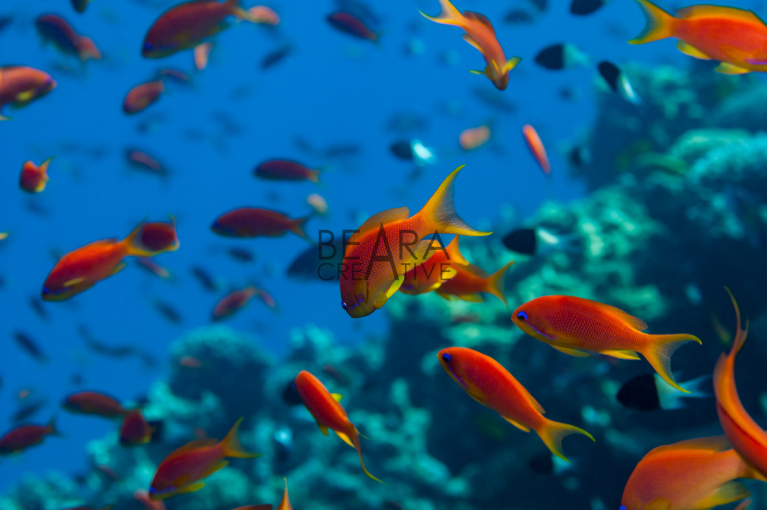 """Anthias shoal"" stock image"