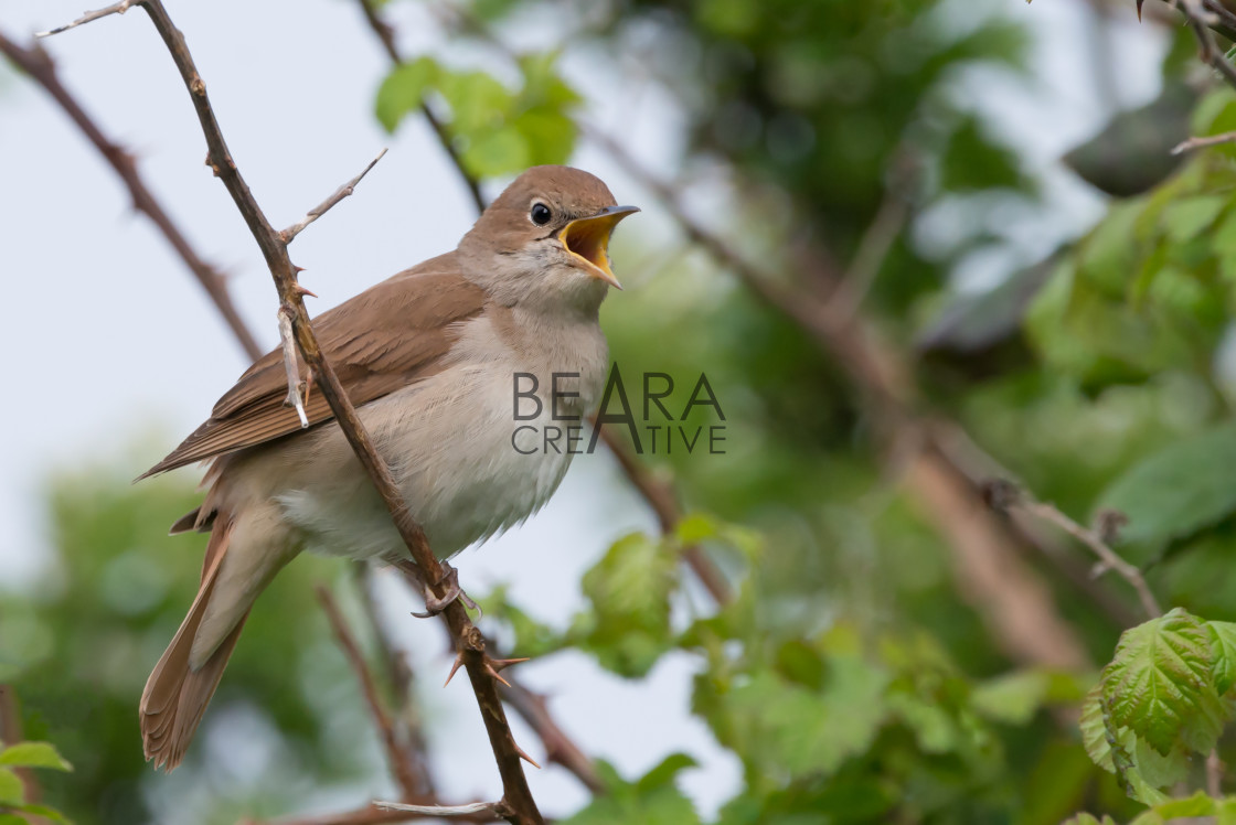 """Nightingale singing at Pulborough brooks RSPB reserve"" stock image"