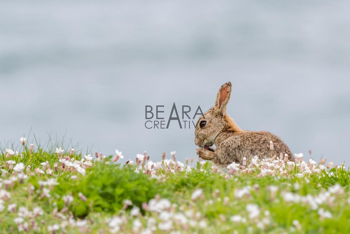 """Skomer Island rabbit"" stock image"