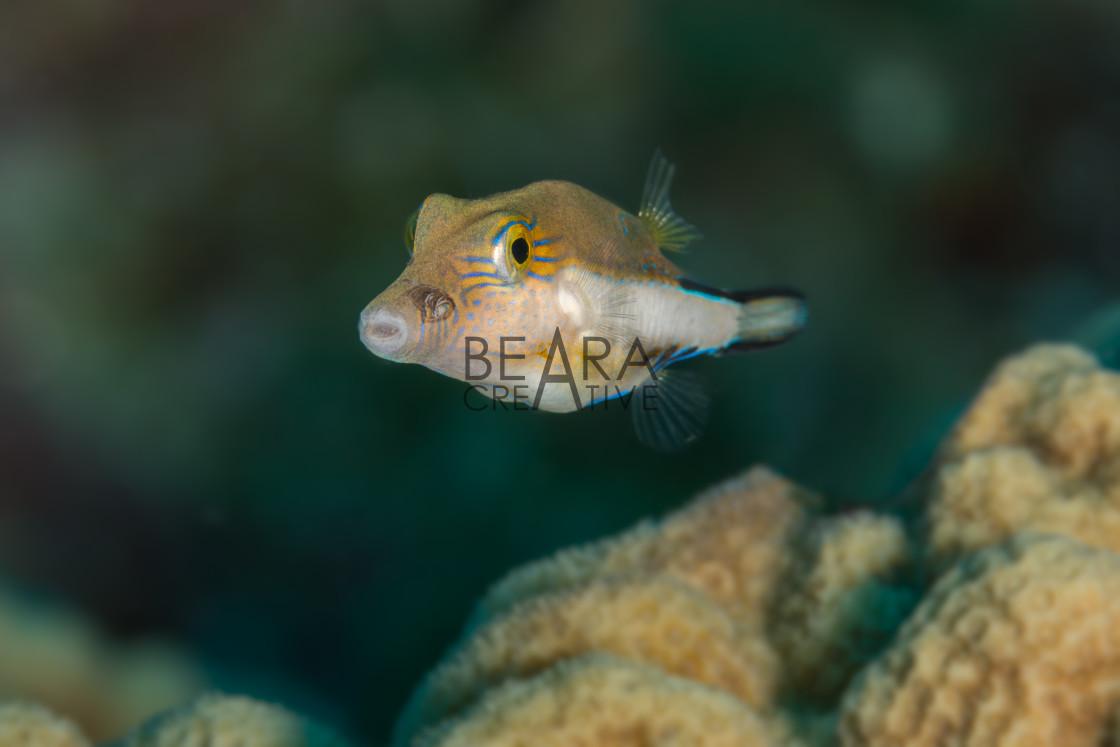 """Small puffer fish"" stock image"