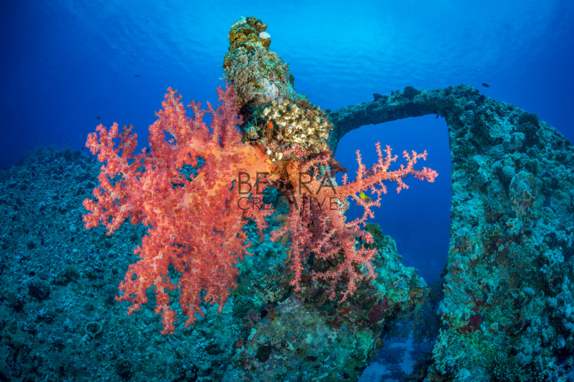 """Soft coral wreck scene"" stock image"