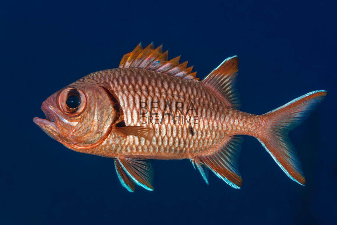 """""""Soldierfish displaying spines"""" stock image"""