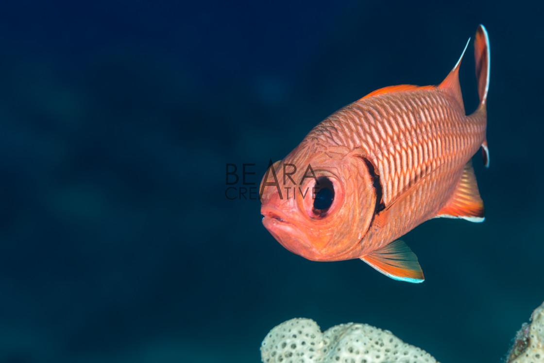 """""""Soldierfish face on"""" stock image"""