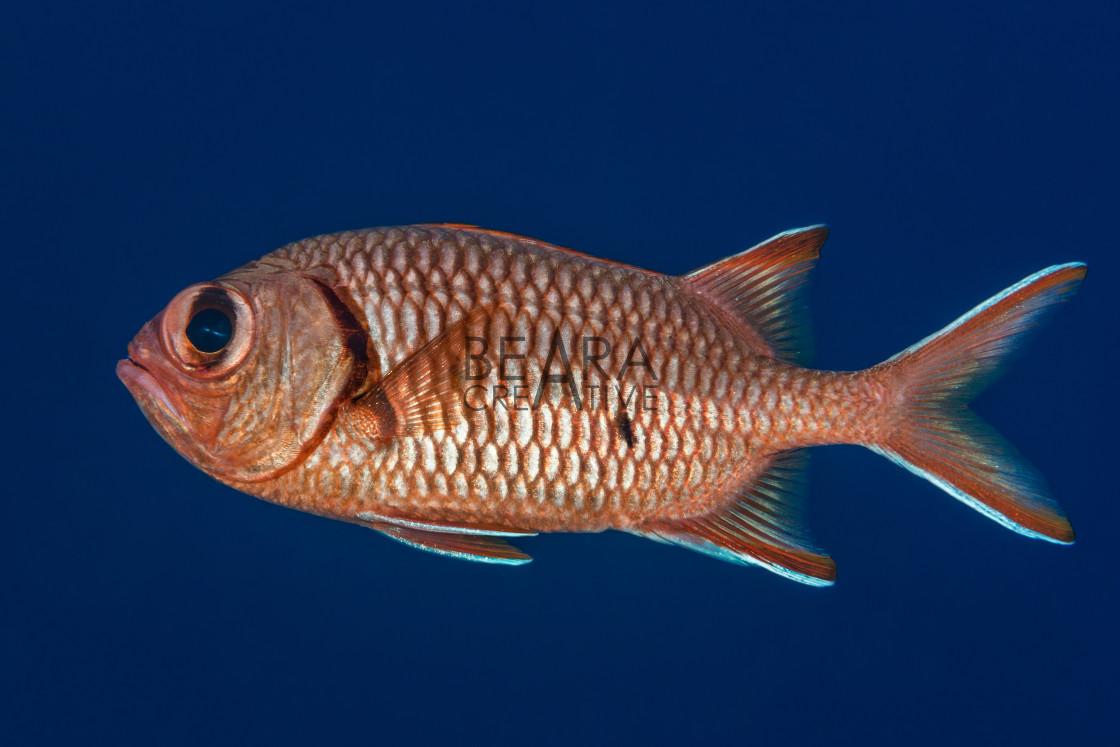 """Soldierfish profile portrait"" stock image"