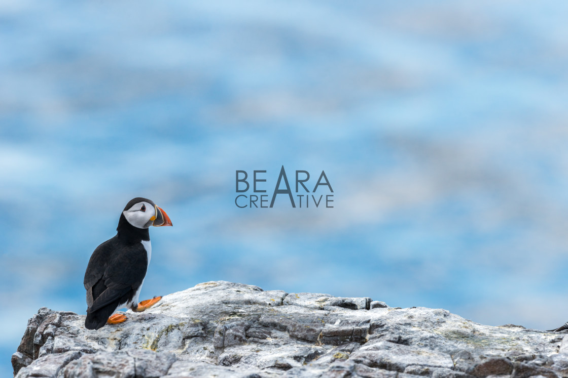 """""""A solitary puffin walks upright in front of a pastel coloured sea"""" stock image"""