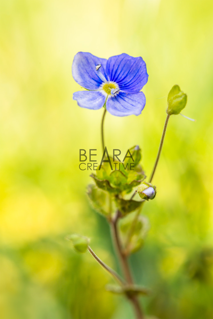 """""""Speedwell flower in Spring"""" stock image"""