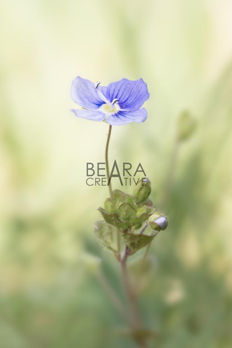 """Speedwell flower in soft light"" stock image"
