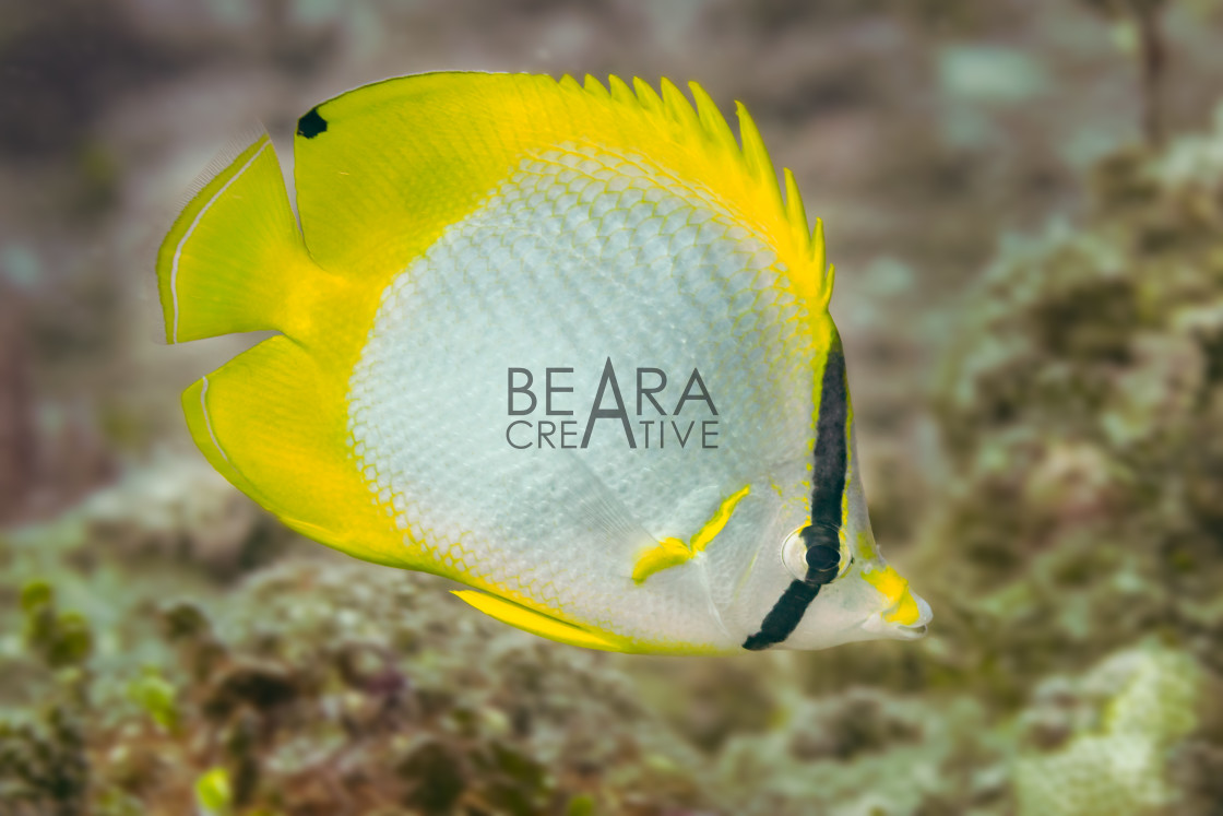 """""""Spotfin butterflyfish in the Bahamas"""" stock image"""