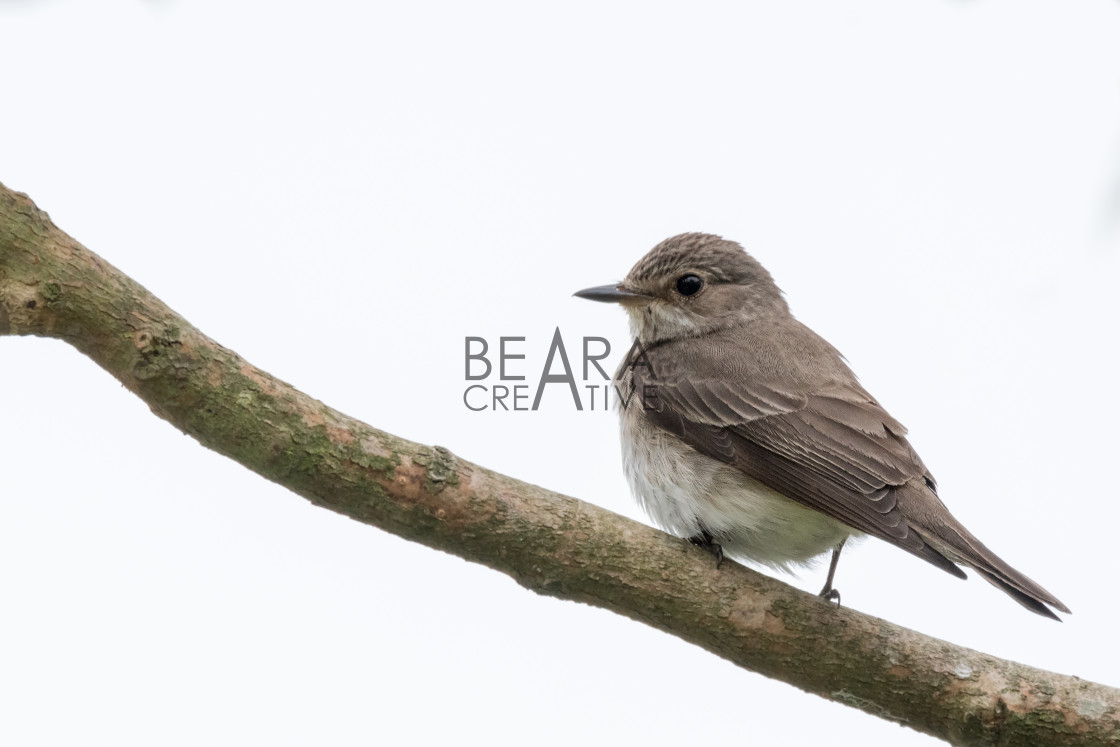 """""""Spotted flycatcher white background"""" stock image"""
