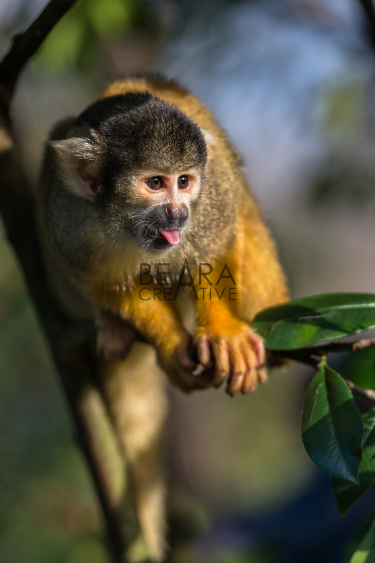 """Black capped squirrel monkey"" stock image"