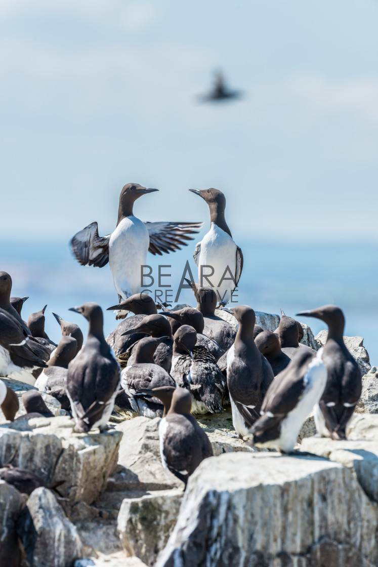 """Two guillemots standing out from the crowd above a guillemot colony"" stock image"
