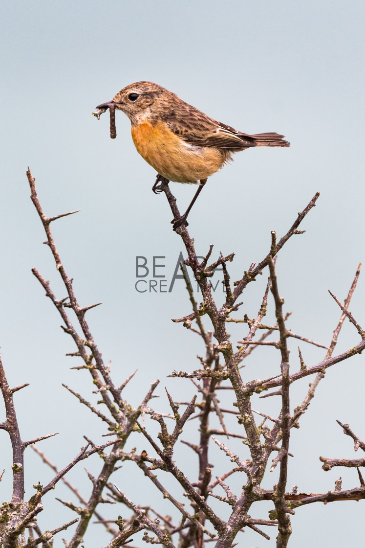 """Stonechat in thorny bush"" stock image"