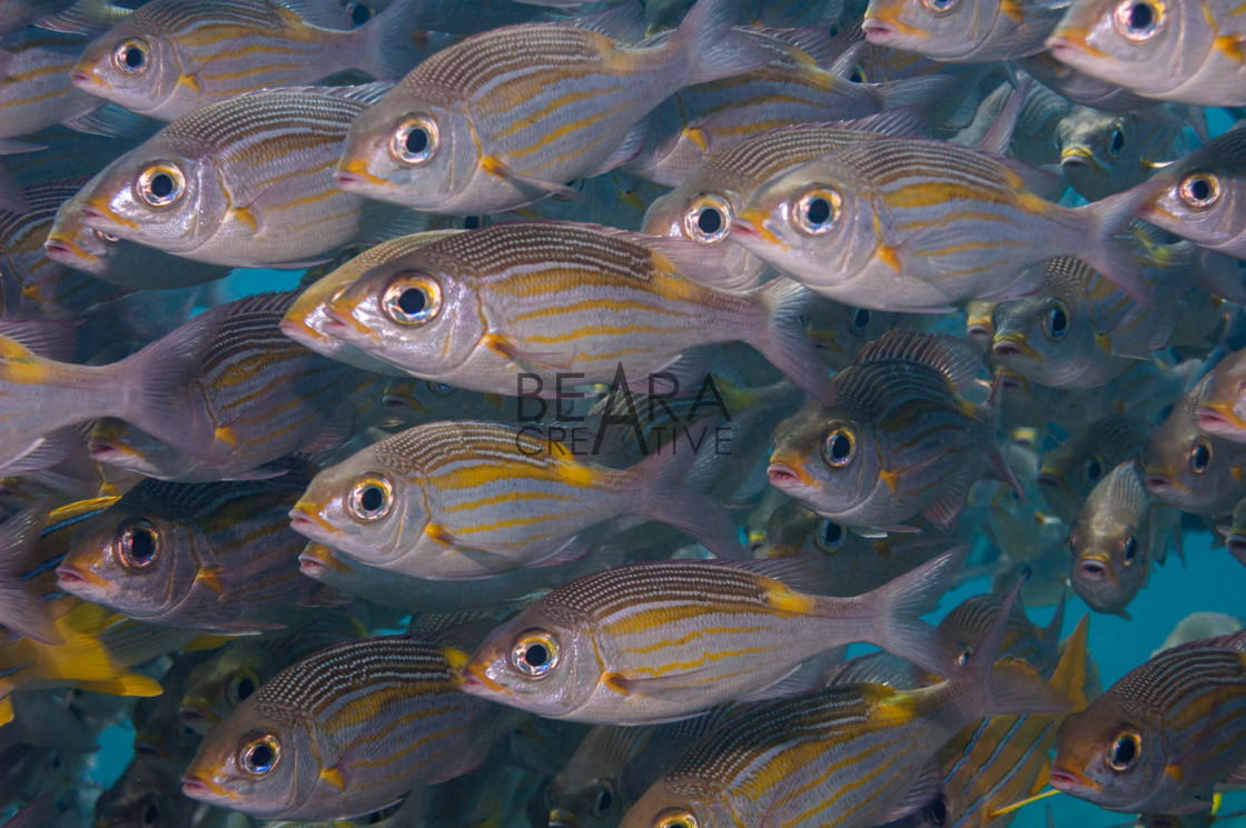 """Shoal of Striped large-eye bream"" stock image"