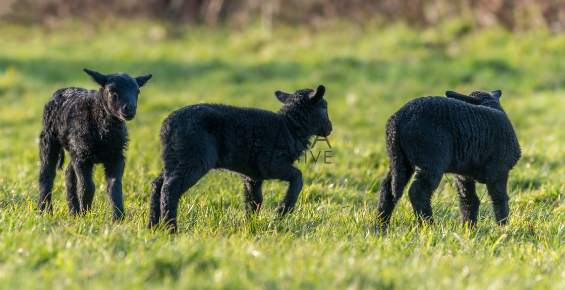 """Three black lambs in Spring"" stock image"