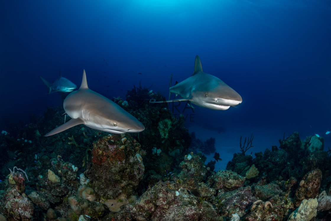 """Three Caribbean reef sharks swim over a coral reef in the Bahamas"" stock image"