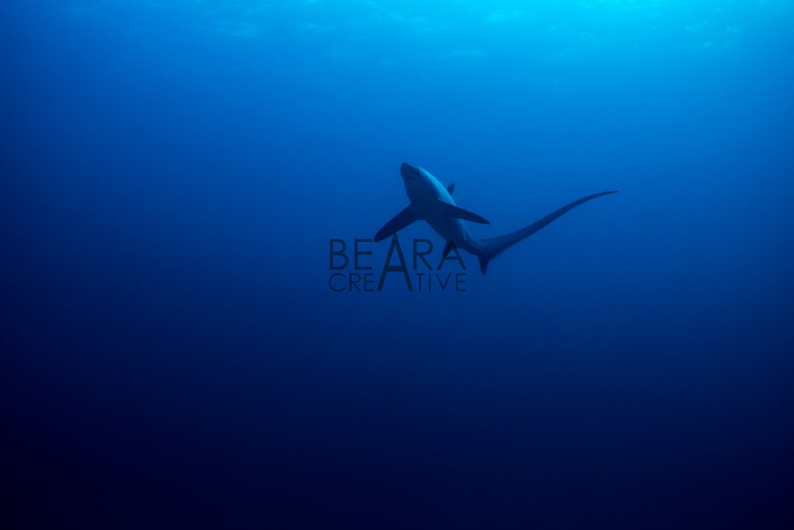 """Common thresher shark"" stock image"