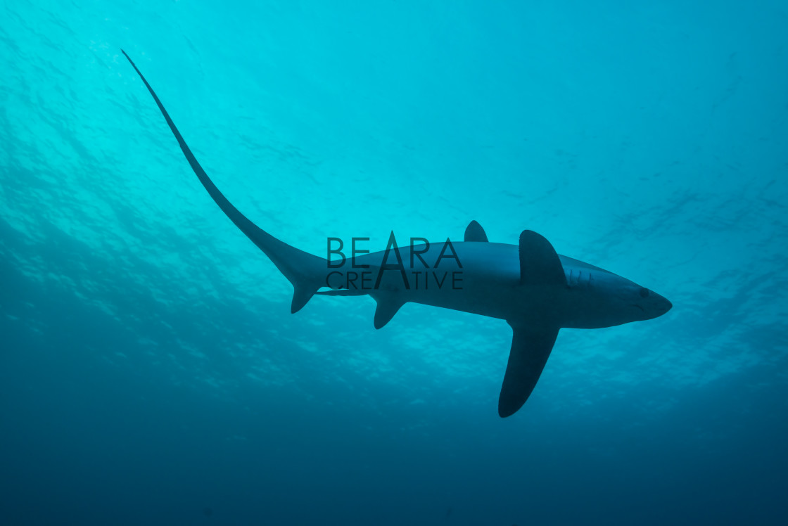 """Thresher shark in profile, showing extremely long tail"" stock image"