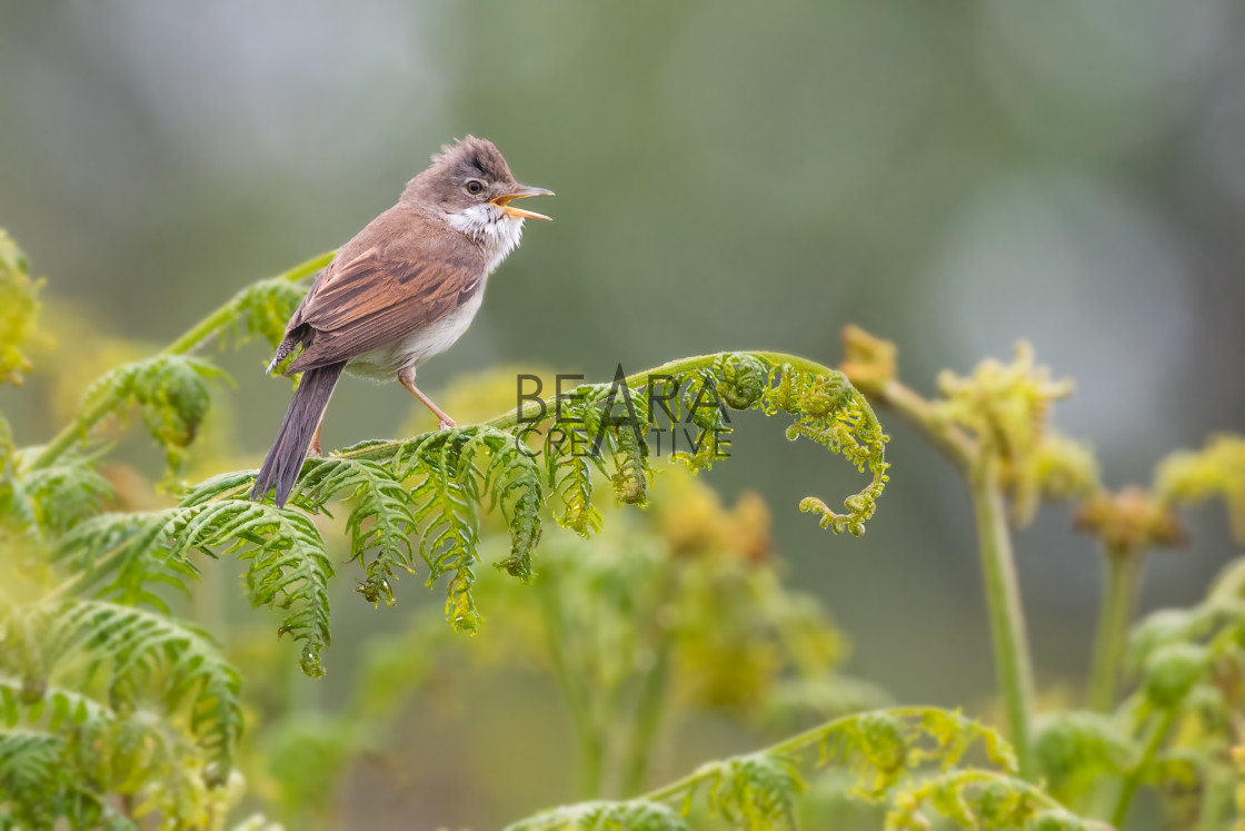"""Whitethroat calling on bracken"" stock image"