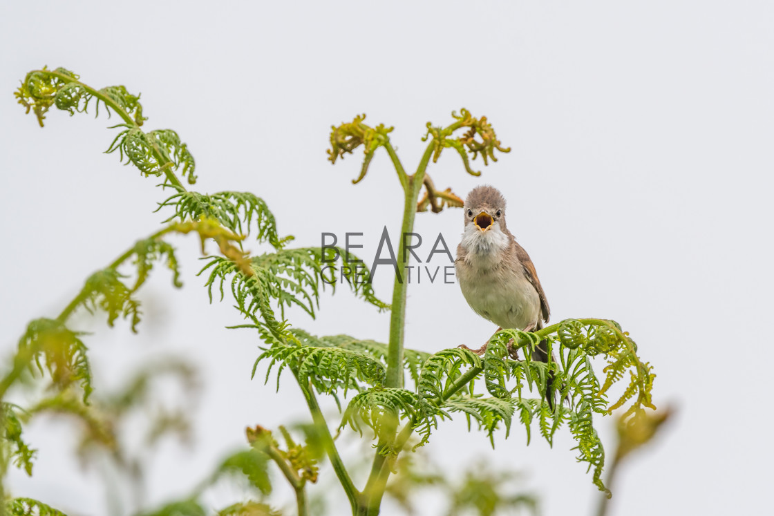 """Whitethroat calling head on"" stock image"