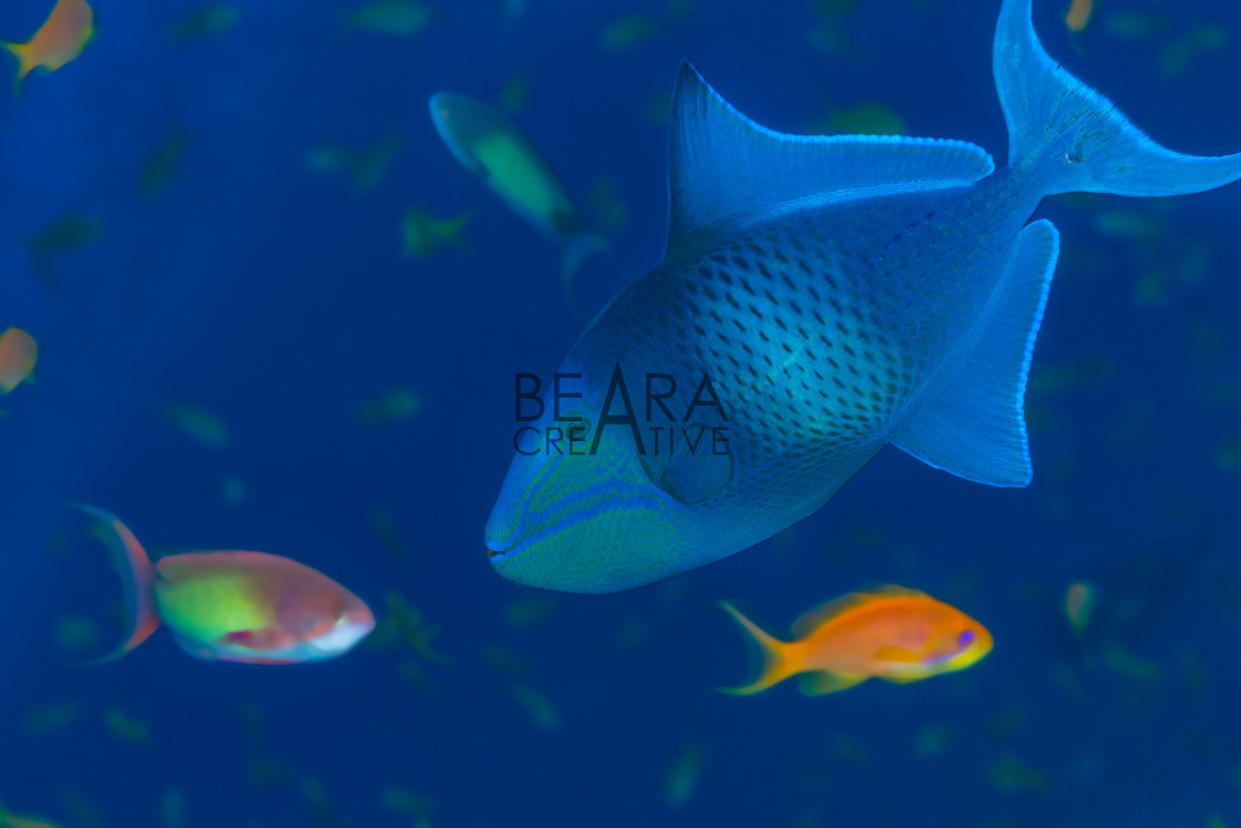 """Wild triggerfish underwater"" stock image"