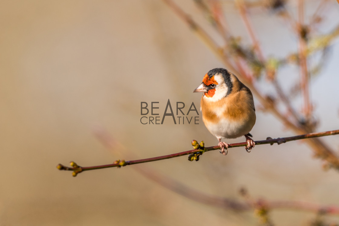 """Winter goldfinch"" stock image"