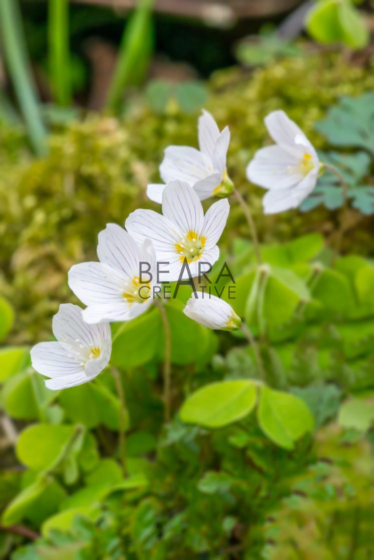 """Wood sorrel flowers in spring"" stock image"