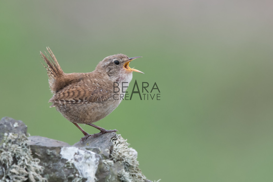 """Wren singing"" stock image"