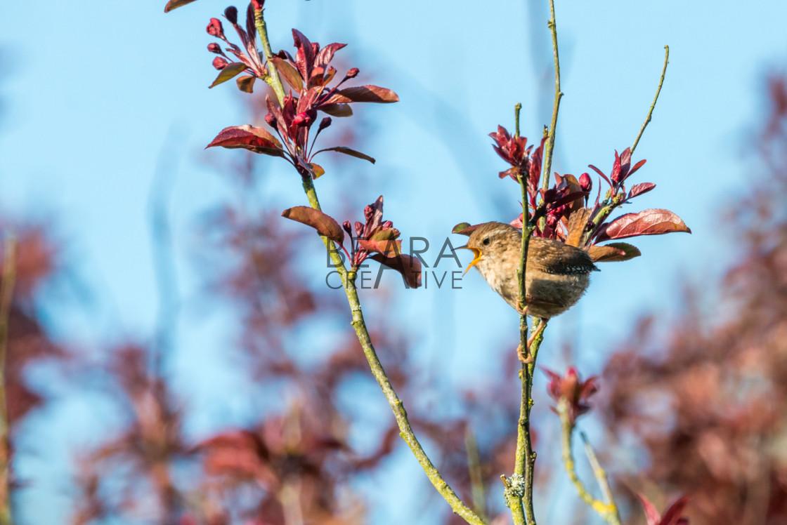 """""""springtime wren singing"""" stock image"""