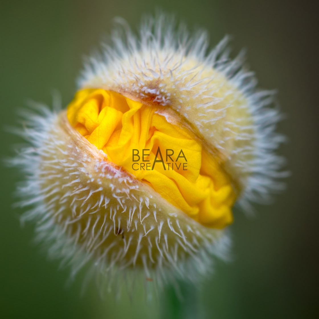 """Yellow poppy flower head"" stock image"