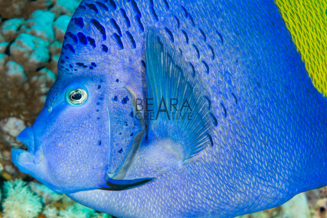 """Yellowbar angelfish head profile"" stock image"