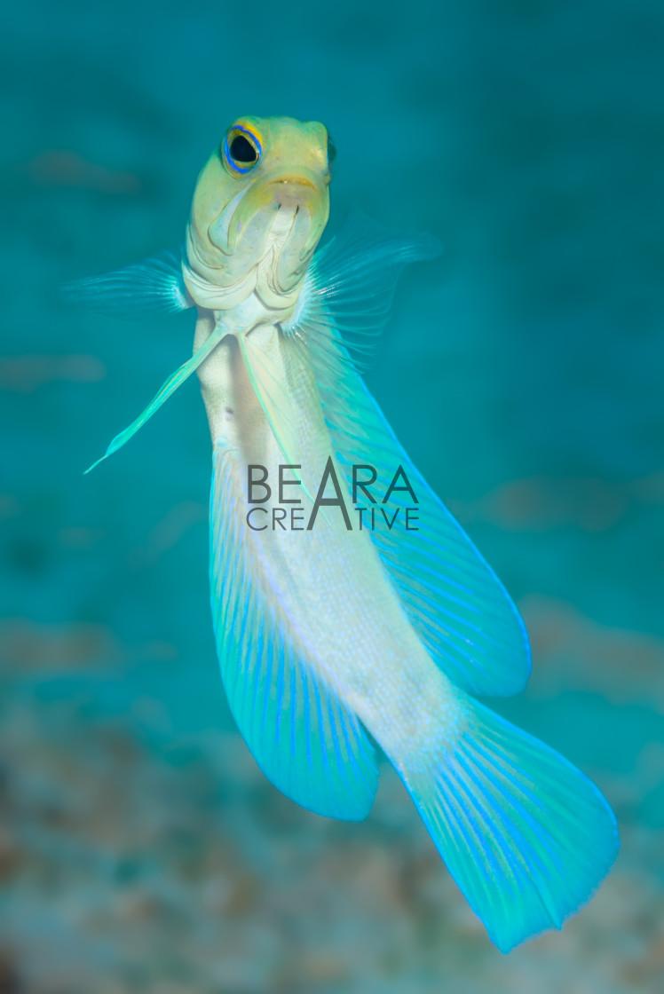 """""""Yellowhead jawfish swimming"""" stock image"""