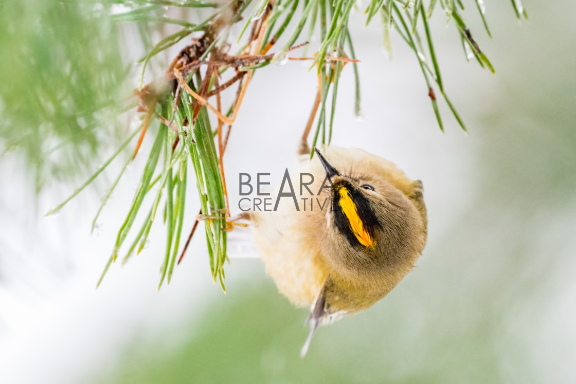 """""""Goldcrest view from above"""" stock image"""
