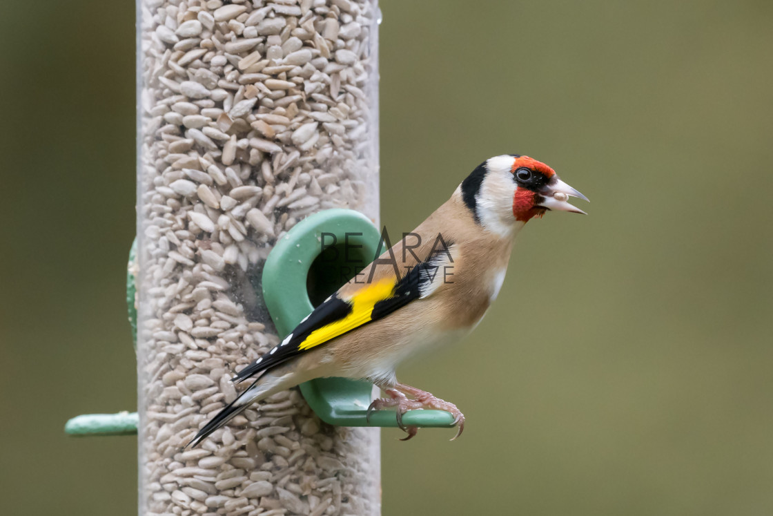 """Goldfinch feeder portrait"" stock image"