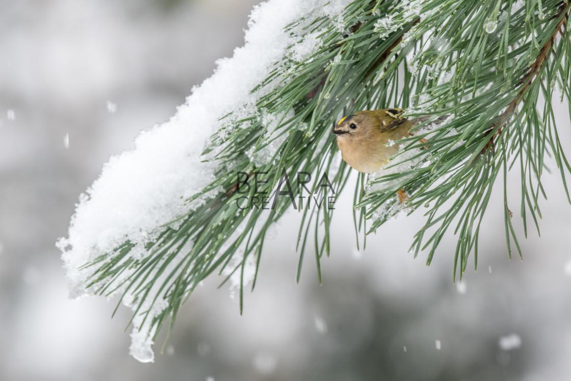 """Goldcrest under snow"" stock image"