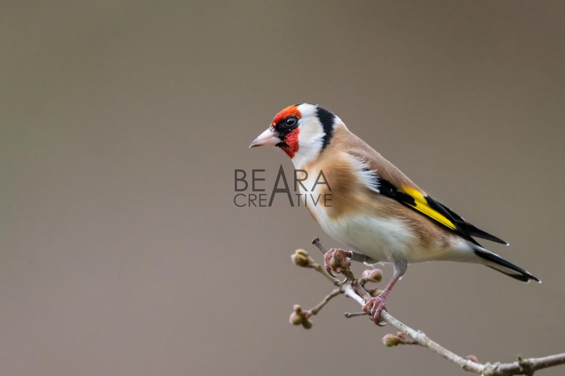 """Goldfinch winter profile portrait"" stock image"