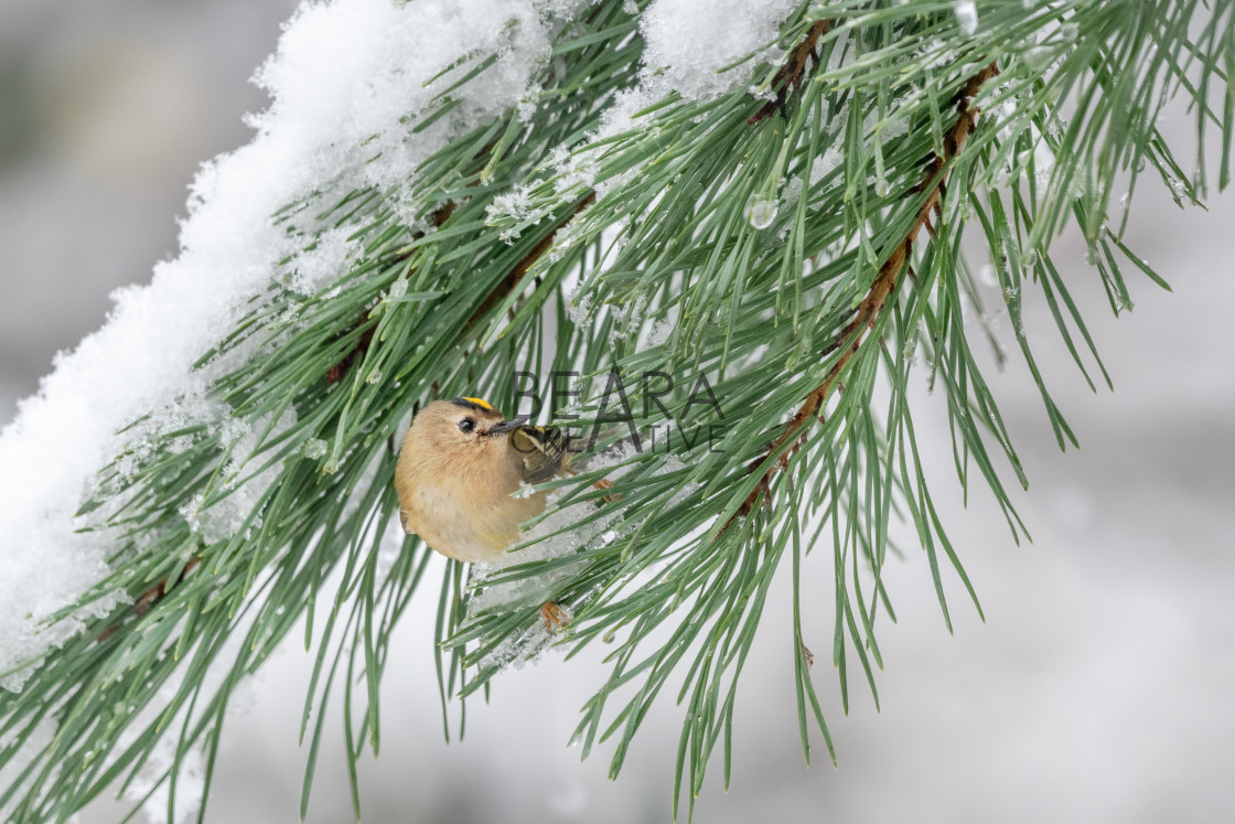 """Goldcrest looking back"" stock image"