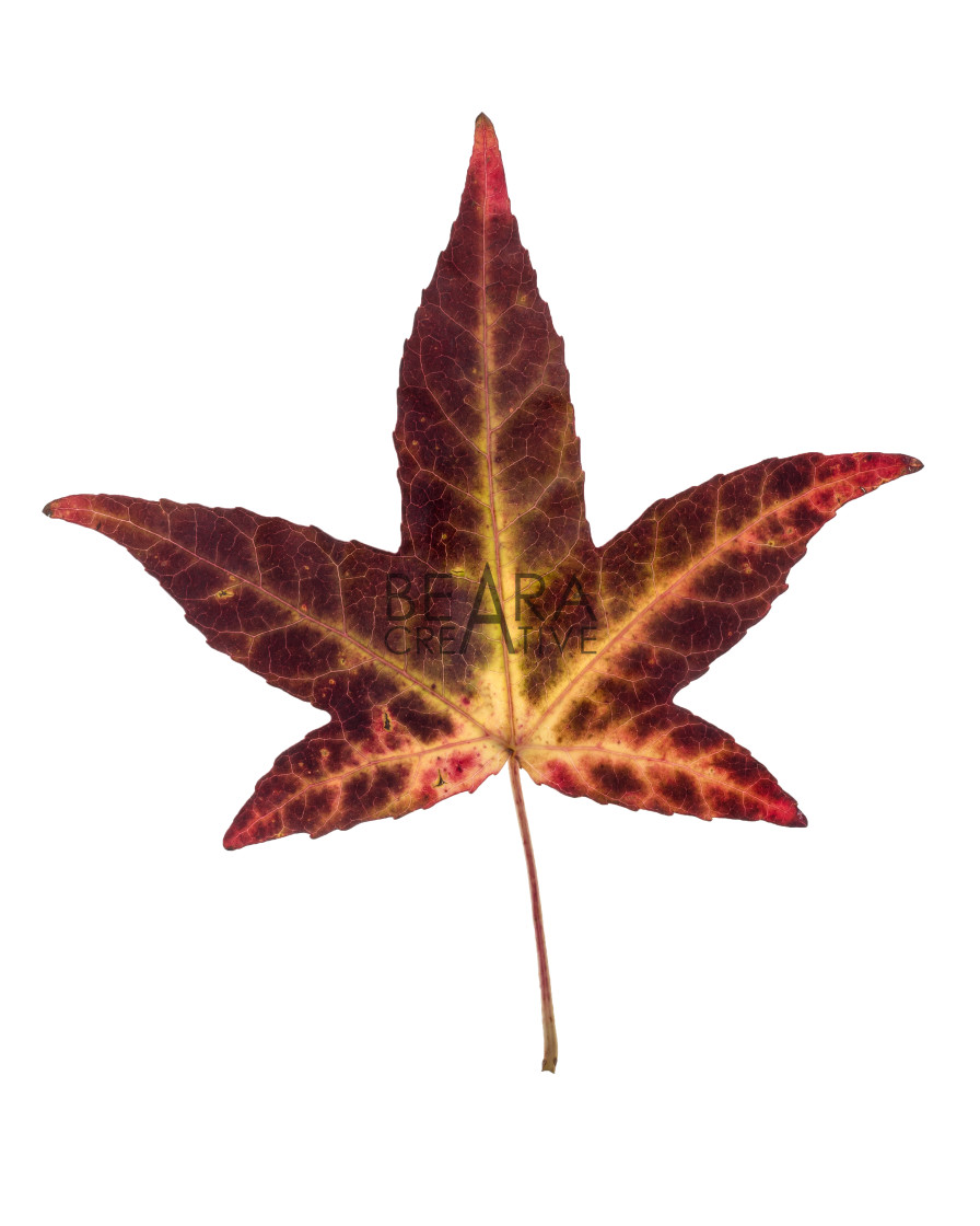 """""""Brown yellow red Japanese maple leaf"""" stock image"""