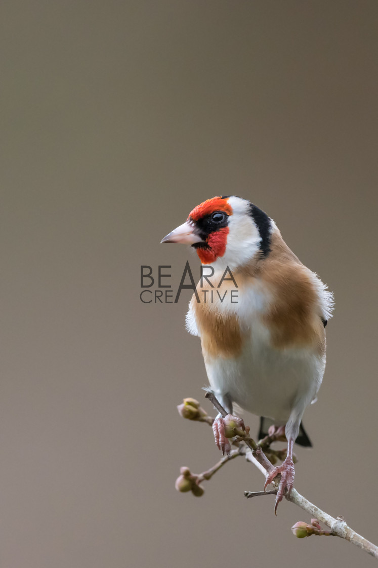 """""""Goldfinch portrait isolated"""" stock image"""