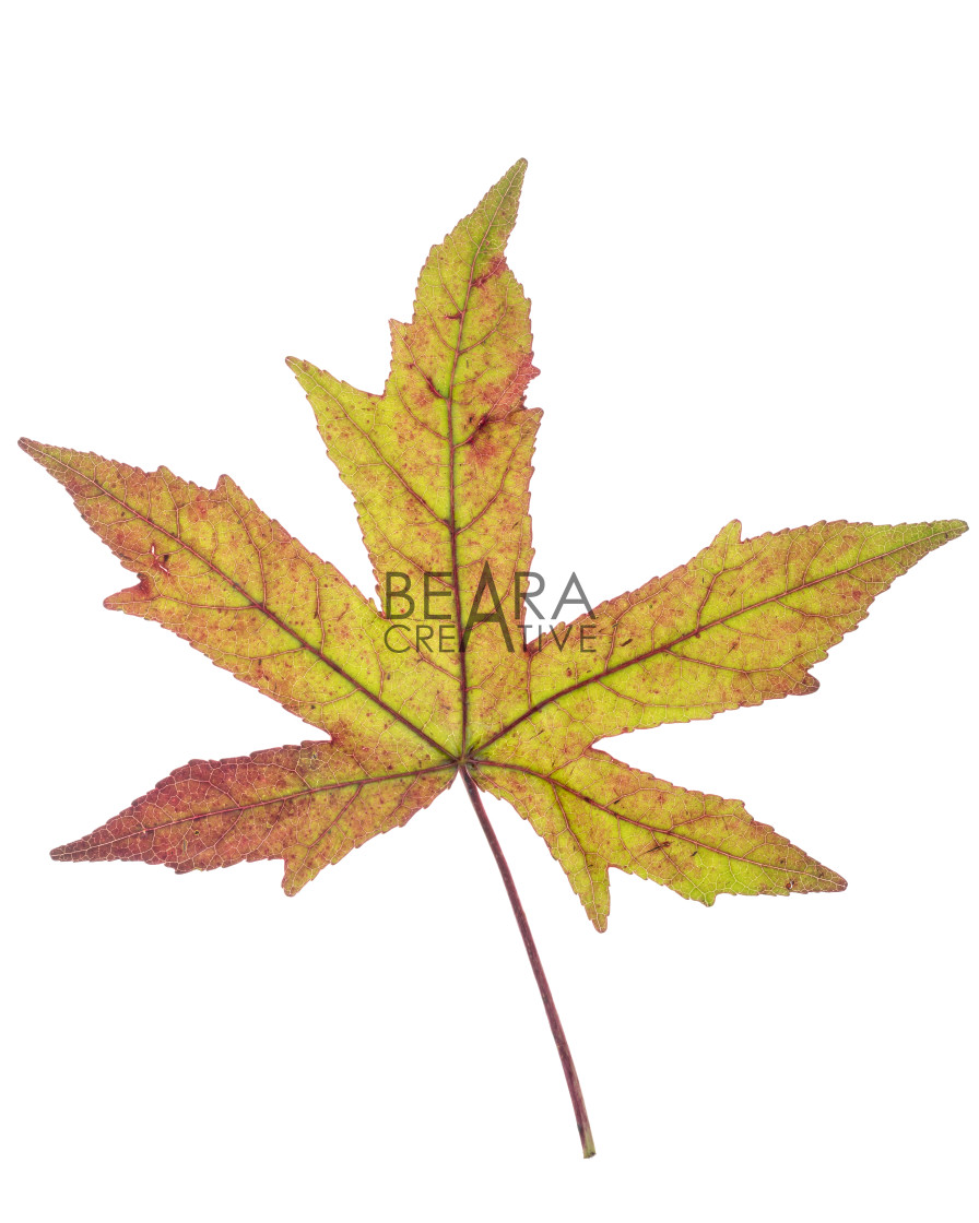 """Green brown Japanese maple leaf"" stock image"